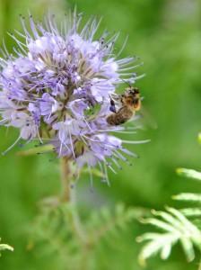 Remarquez les pelotes violettes de l'abeille
