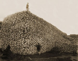 Tas de squelettes de têtes de bisons tirés par les envahisseurs blancs. Seule la peau était utilisée pour l'industrie des courroies.